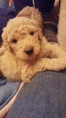 Goldendoodle Puppy for sale in SEDRO WOOLLEY, WA, USA