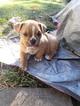 Olde English Bulldogge Puppy For Sale in BEAVERTON, OR, USA