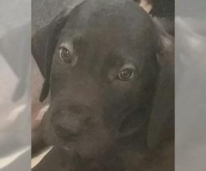 Great Dane Puppy for sale in FORT PIERCE, FL, USA