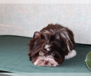 Biewer Terrier Puppy for sale in Minsk, Minsk City, Belarus