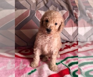 Poodle (Standard) Puppy for sale in MORGANTON, NC, USA