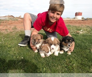 Pembroke Welsh Corgi Puppy for sale in HOLBROOK, AZ, USA