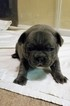 French Bulldog Puppy For Sale in SAN JACINTO, CA, USA