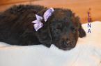 Puppy 4 Golden Mountain Dog