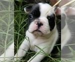 Small #8 Faux Frenchbo Bulldog