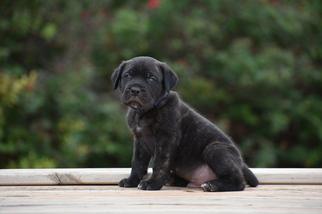 View Ad Cane Corso Puppy For Sale Oklahoma Cashion Usa