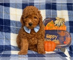 Goldendoodle-Poodle (Miniature) Mix Dog for Adoption in CEDAR LANE, Pennsylvania USA