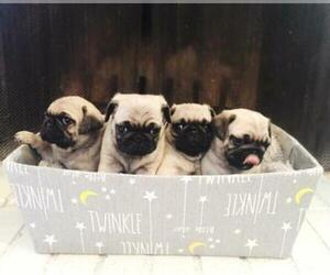 Pug Puppy for sale in YUMA, AZ, USA