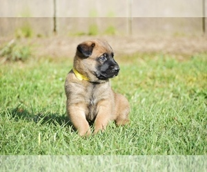 Medium Belgian Malinois