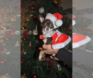 Chihuahua Puppy for Sale in HAMPTON, Virginia USA
