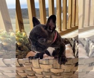 French Bulldog Puppy for Sale in EAGLE ROCK, Missouri USA