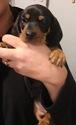 Dachshund Puppy For Sale in HOOPER, NE, USA