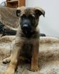 German Shepherd Dog Puppy For Sale in BINGHAMTON, NY, USA
