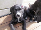Labrador Retriever-Saint Bernard Mix Puppy For Sale in BEAUFORT, SC