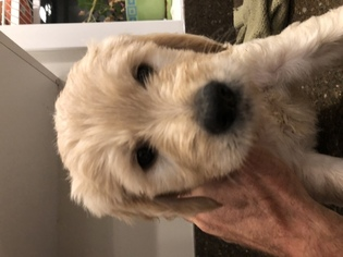 Goldendoodle Puppy For Sale in SAMMAMISH, WA, USA