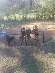 Rottweiler Puppy For Sale in BELVEDERE, GA, USA