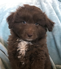 Aussie-Poo Puppy for sale in FORT MORGAN, CO, USA