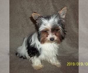 Biewer Terrier Puppy for sale in HILLSBORO, OR, USA