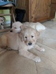 Golden Retriever Puppy For Sale in AZLE, TX, USA