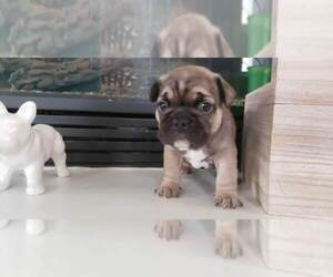 French Bulldog Puppy for Sale in W SACRAMENTO, California USA