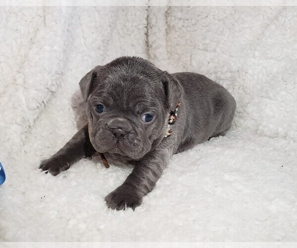 Medium Photo #1 French Bulldog Puppy For Sale in GRAND JCT, CO, USA