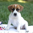 Jack Russell Terrier Puppy For Sale in GAP, Pennsylvania,