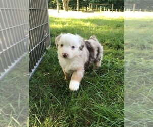 Australian Shepherd Puppy for sale in ZANESVILLE, OH, USA