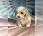 Puppy 1 Shih-Poo-Zuchon Mix