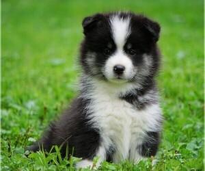 Pomsky Puppy for sale in FREDERICKSBG, OH, USA