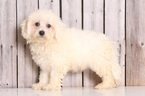 Cavachon Puppy For Sale in MOUNT VERNON, OH,