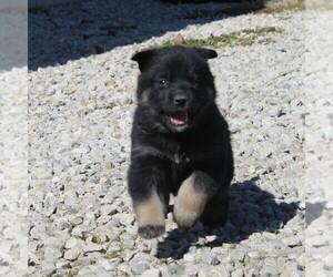 German Shepherd Dog-Siberian Husky Mix Puppy for sale in OTTAWA, KS, USA