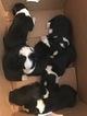 ABCA Border Collie CHRISTMAS Puppies