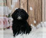 Puppy 7 Schnoodle (Miniature)