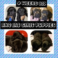 Labrador Retriever Puppy For Sale in WATERTOWN, NY, USA