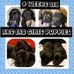 Beautiful AKC Lab Puppies