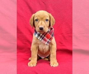 Labrador Retriever Puppy for sale in QUARRYVILLE, PA, USA