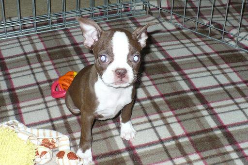 Find Boston Terrier Puppies in Tucson, AZ - puppylist.org