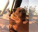 Small #27 French Bulldog