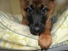 Malinois Puppy For Sale in PATERSON, NJ, USA