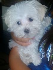 Maltese Puppy for sale in EMERYVILLE, CA, USA