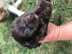 Cocker Spaniel Puppy For Sale in HORSE CAVE, KY, USA