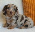 Dachshund Puppy For Sale in RICHMOND, VA,