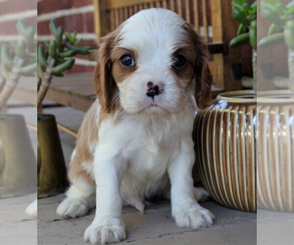 Medium Photo #1 Cavalier King Charles Spaniel Puppy For Sale in LANCASTER, PA, USA