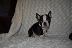 Faux Frenchbo Bulldog Puppy For Sale in ATWOOD, IL, USA