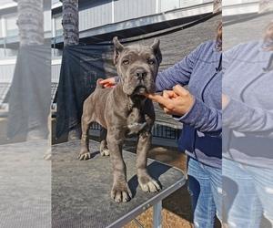 Cane Corso Puppy for sale in POPLAR, CA, USA