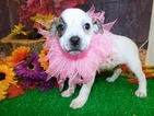 Australian Cattle Dog-English Bulldog Mix Puppy For Sale in HAMMOND, IN, USA