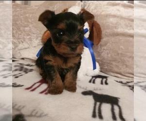 Unknown-Yorkiepoo Mix Puppy for sale in TROY, MI, USA