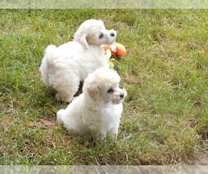 Poodle (Toy) Dog for Adoption in LAFAYETTE, Indiana USA