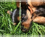 Small #11 Silkshire Terrier-Yorkshire Terrier Mix