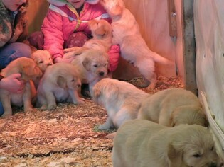 Golden Retriever Puppy For Sale in LOYAL, WI, USA